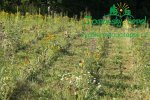 likvidace-plevelu-na-plantazich-japonskych-topoluimg_0132.jpg