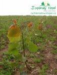 rychle-rostouci-topol-plantaz-japonsky-topols1100013.jpg