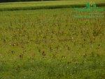 rychle-rostouci-topol-porovnani-plantaz-af8-japonsky-topolp1150297.jpg